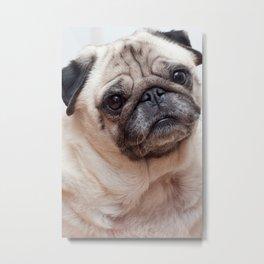 Cute Pug Metal Print