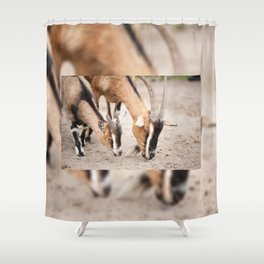 domesticated goats eating from sand Shower Curtain