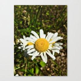 Daisy, Daisy Canvas Print