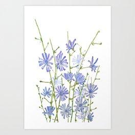 blue chicory watercolor Art Print