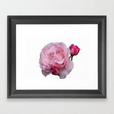 isolated pink rose whit bud Framed Art Print