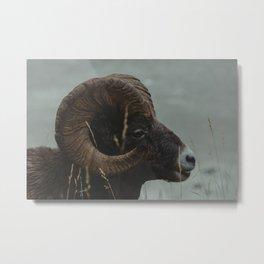 One Chill Bighorn Sheep Metal Print
