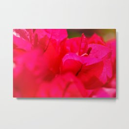 Pink bougainvilleas Metal Print