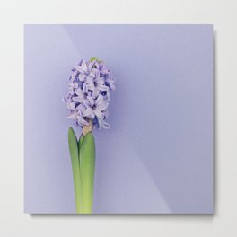 Blue hyacinth on purple Metal Print