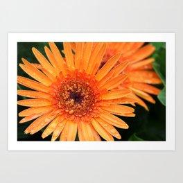 Orange Gerber Daisy after the Rain Art Print