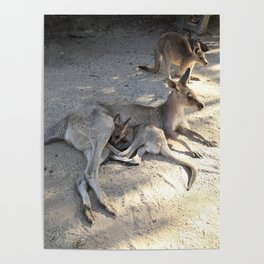 Kangaroo and Joeys Poster