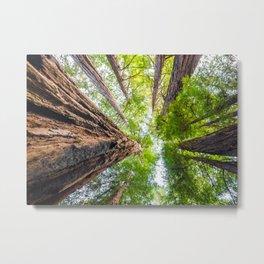 Muir Woods- Sequoia Trees Metal Print