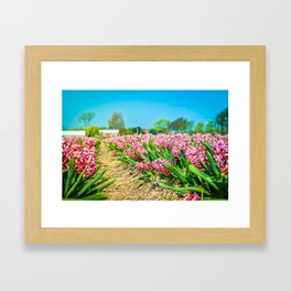 A field of pink hyacinth in Holland, view from bottom. Shallow depth of field. Focus on the foregrou Framed Art Print