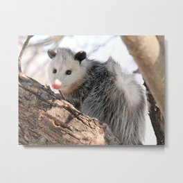 North American Opossum in Winter Metal Print