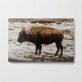 Bison, Grand Teton National Park Metal Print