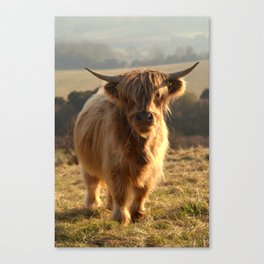Young Highland Cow Canvas Print