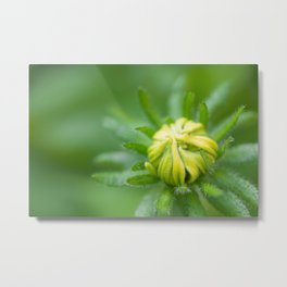 Tiny Budding Rudbeckia (Sunflower) Metal Print