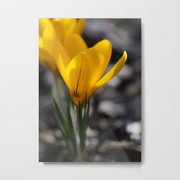 Yellow Crocuses Metal Print