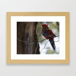 Beautiful bird on the Great Ocean Road, VIC Framed Art Print