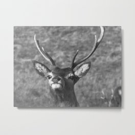 """You looking at me?' Ardnamurchan Deer, Highlands of Scotland Metal Print"