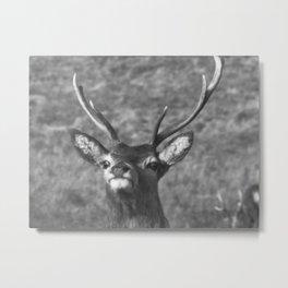 """You looking at me?' Ardnamurchan Deer, Highlands of Scotland Metal Print"