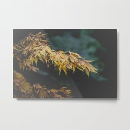 Faded Yellow Acer Leaves Metal Print