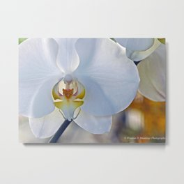 Phalaenopsis Orchid Metal Print