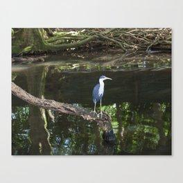 Pied Heron Canvas Print