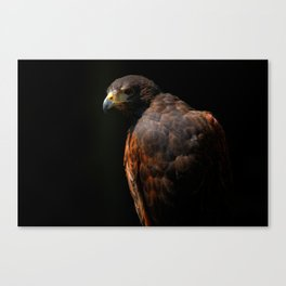 Hawk Out Of The Shadows | Harris Hawk | Wildife Photography Canvas Print