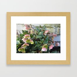 Pink flowers against an old brick wall Framed Art Print