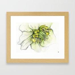 Watercolor Helleborus Framed Art Print
