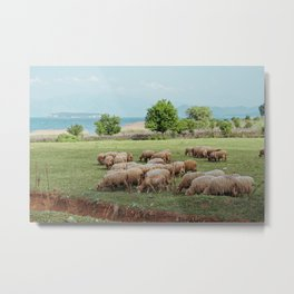 grazing sheep Metal Print