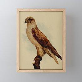 Vintage Print - Birds and Nature (1903) - Ferruginous Rough-Legged Hawk Framed Mini Art Print