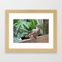 guira cuckoo Framed Art Print
