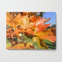 Maple in Sunlight Metal Print