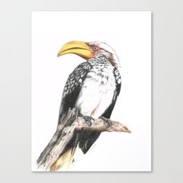 Southern Yellow-Billed Hornbill - Colored Pencil Canvas Print