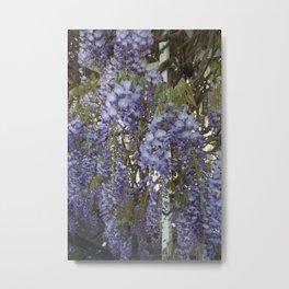 Wisteria Flowers Metal Print