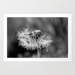 Bokehlicious black & white dandelion Art Print