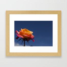 Pink and Orange Rose Framed Art Print