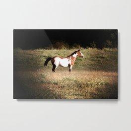 Pinto stallion Metal Print