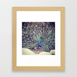 Peacock Beauty  Framed Art Print