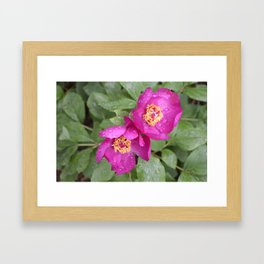 wild peony in the rain Framed Art Print