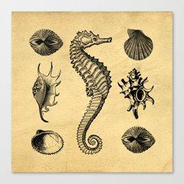 Vintage Seashells Canvas Print