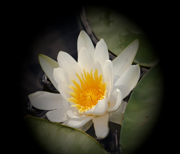 White Waterlily On A Dark Background #decor #society6 Metal Travel Mug