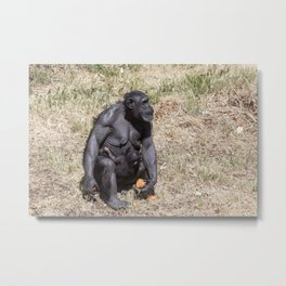 Chimpanzee with infant Metal Print