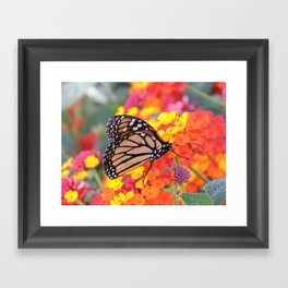 Monarch Feeding on Lantana Framed Art Print