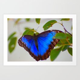 Blue Morpho Buttefly Art Print