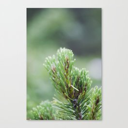 Evergreen Needles Canvas Print