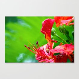 Royal Poinciana Flower Bloom Canvas Print