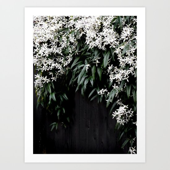 Clematis Armandii by chancelrie