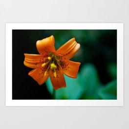 Turk's Cap Lily Art Print