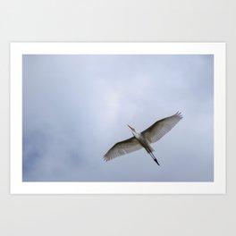Majestic Great White Egret soaring overhead Art Print