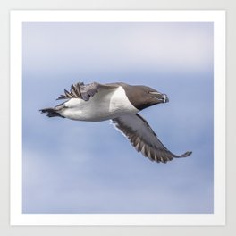 Razorbill in flight Art Print