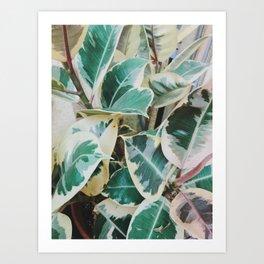 Verigated Rubber Plant Art Print