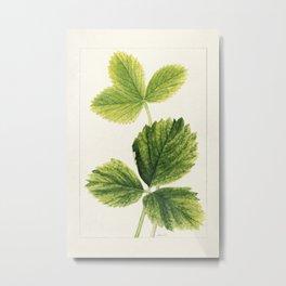 Strawberry leaves (Fragaria) (1931) by Ellen Isham Schutt Metal Print